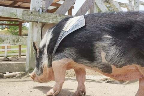 豚さんの写真