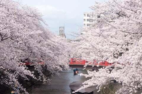 大垣市の桜の写真