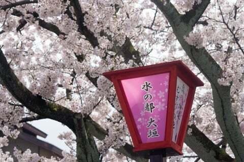 大垣の桜の写真