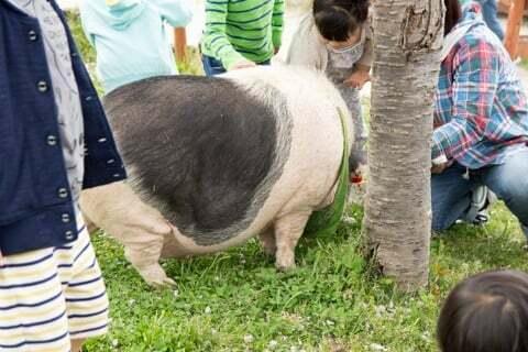 園内の豚さんの写真