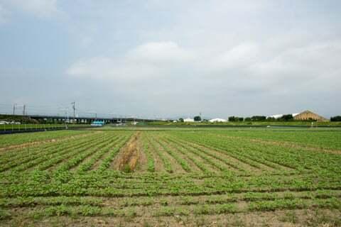 平町のひまわり畑の様子の写真