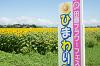 今年も背が高いひまわり達です!羽島市のいちのえだ田園フラワーフェスタのひまわり畑