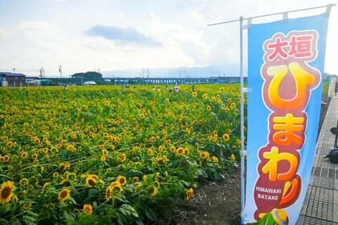 大垣市平町のひまわり畑の写真