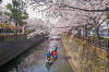 今年も大垣市水門川の桜が見頃になりましたのでお花見行ってきました