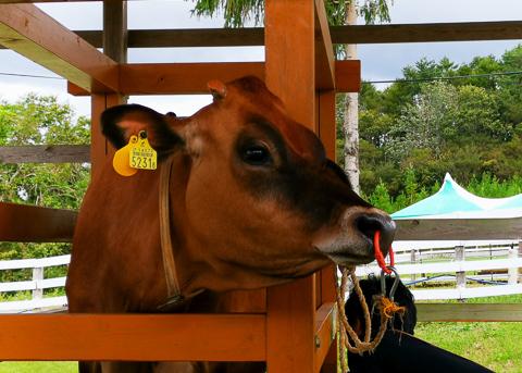 あんこちゃんの乳搾りの写真